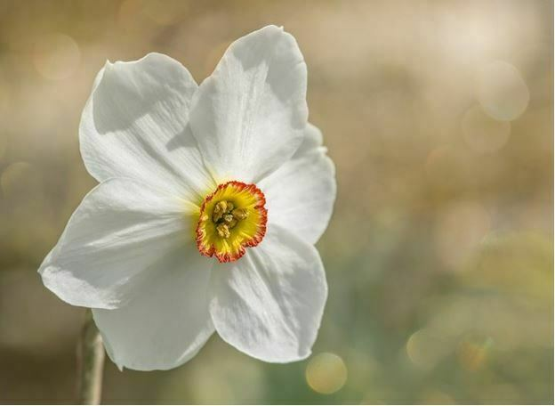 30 most beautiful white flowers in the world hd images white flowers names daffodils mightylinksfo Image collections