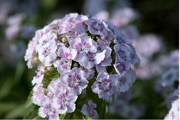 small white flowers phlox flower