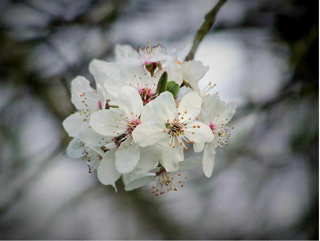 perennial white flower