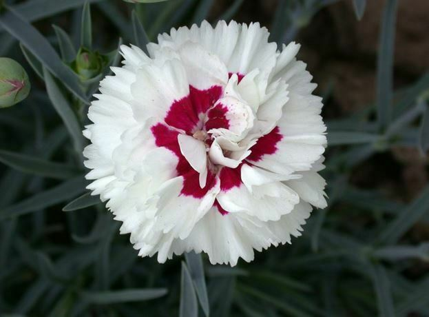 white flowers dianthus