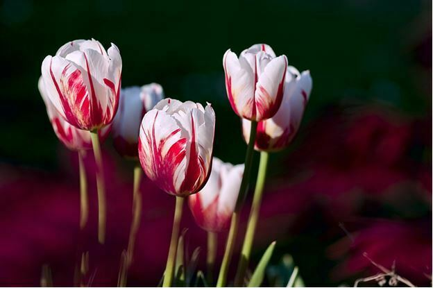 white flowers tulips