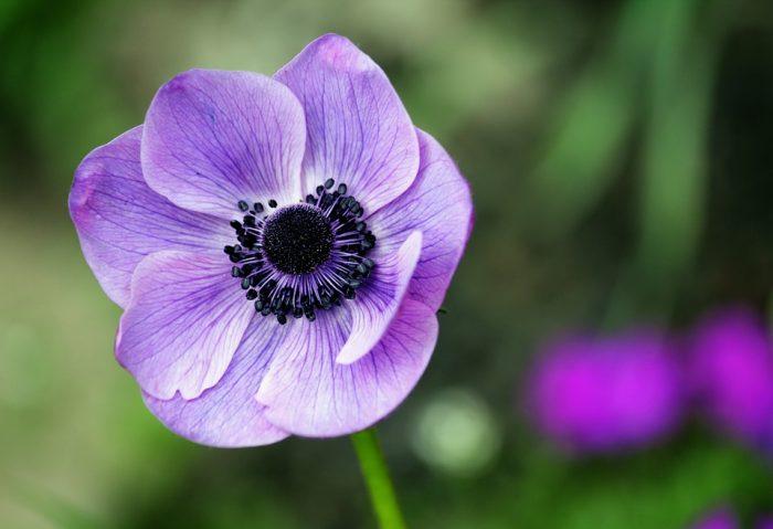 beautiful flowers anemone