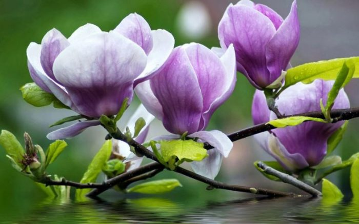 purple magnolia flowers