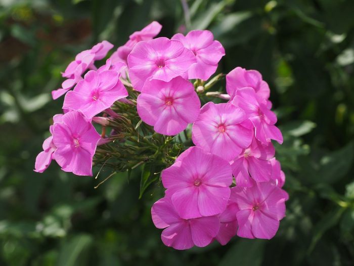 phlox flowers pink flower