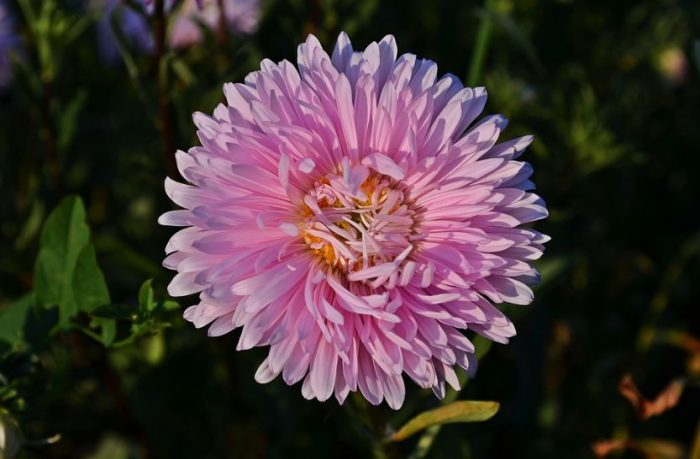 beautiful pink flowers aster