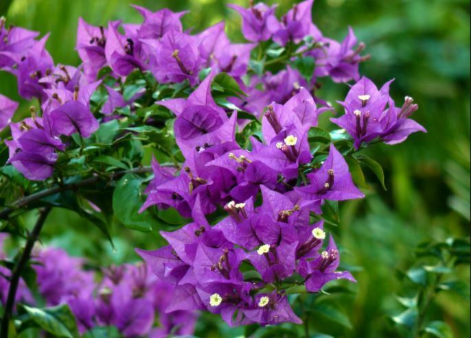 purple flowers bloom
