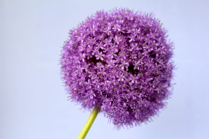 beautiful purple flower allium