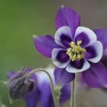 Best 25+ Beautiful Purple Flowers for Your Garden