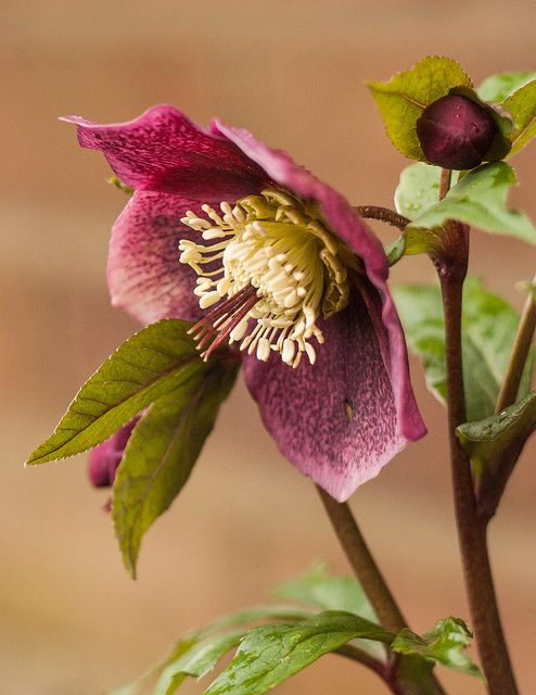 beautiful purple flowers hellebore