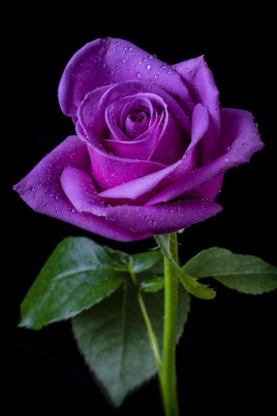 beautiful purple flowers rose