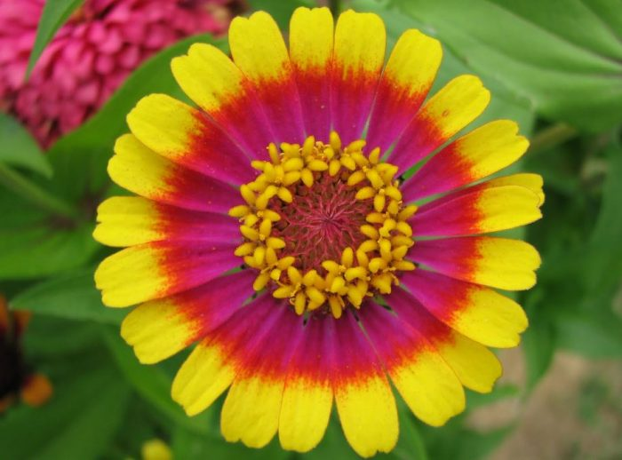 30 types of orange and yellow flowers hd images beautiful yellow and pink flowers zinnia flower mightylinksfo Gallery
