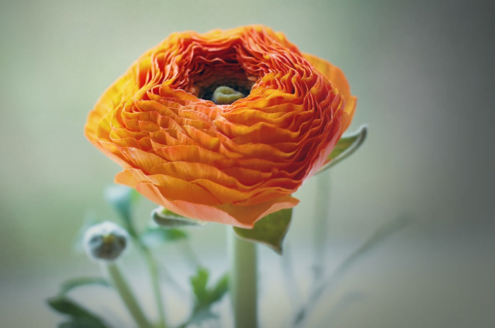 beautiful orange flowers ranunculus