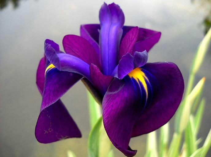 Beautifulflowersflower iris flowers