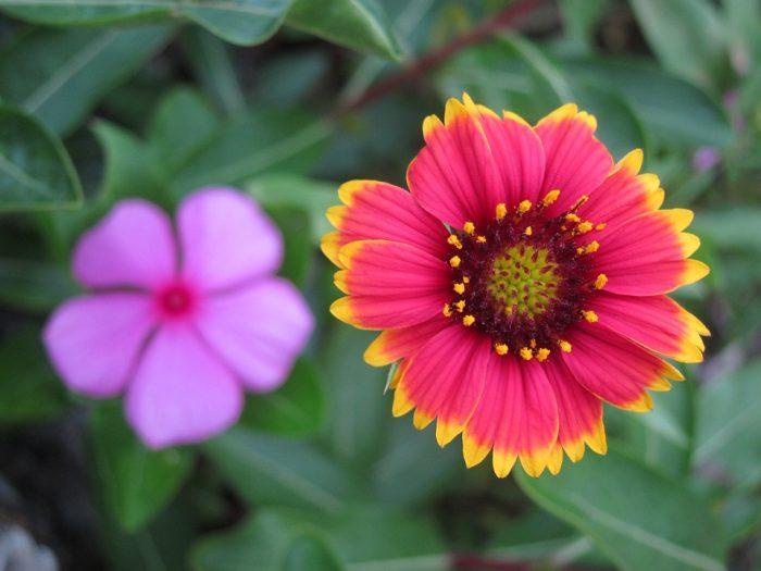 beautiful blanket flower