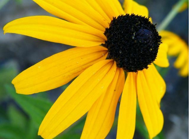 beautiful flowers black eyed susan