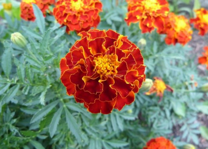 beautiful flowers marigold flower
