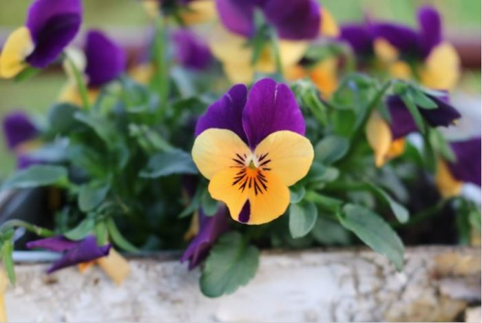 beautiful flowers pansy flower