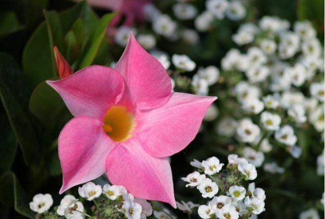 beautiful flowers pink flower mandevilla