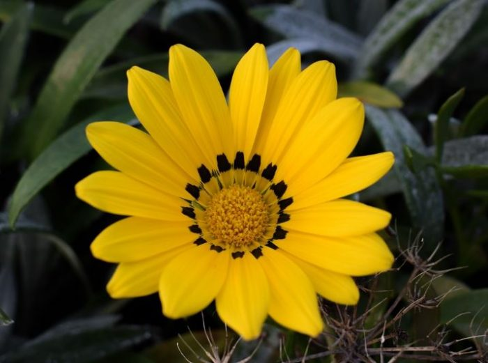 beautiful gazania yellow flowers wikimedia