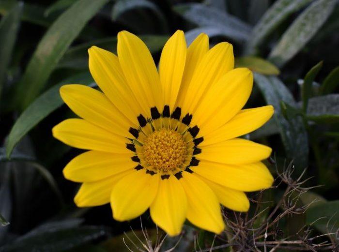 beautiful gazania yellow flowers wikimedia