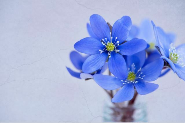 beautiful hepatica flowers