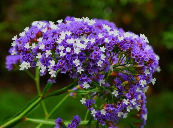 beautiful limonium flowers