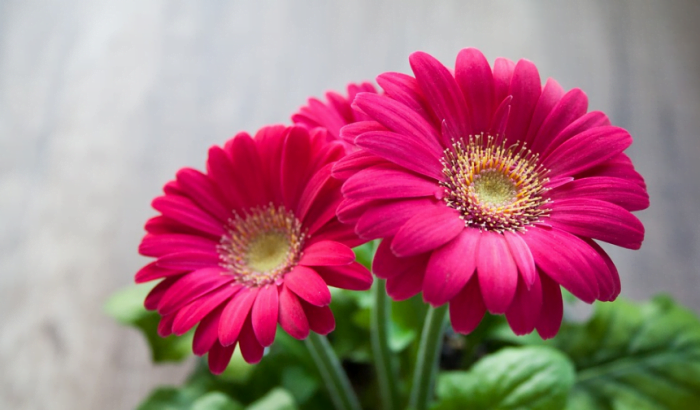 beautiful pink flowers garbera flower