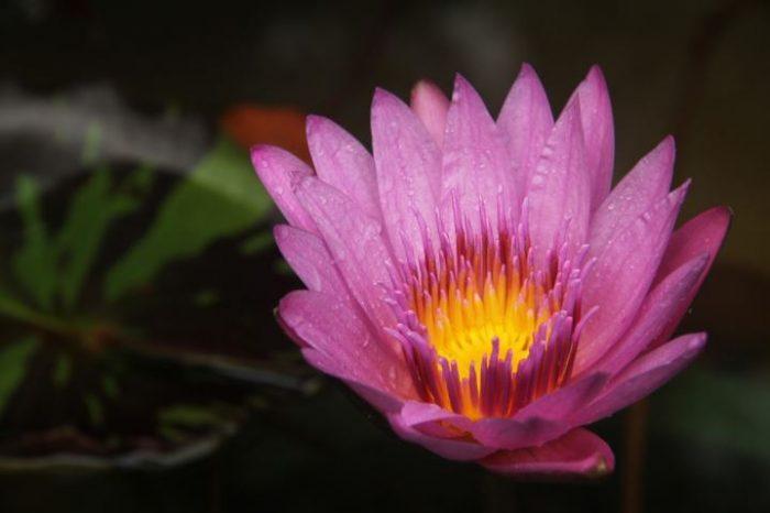 beautiful pink flowers lotus flower