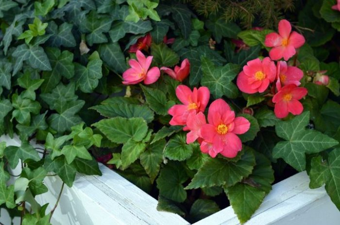 beautiful red flowers - begonia
