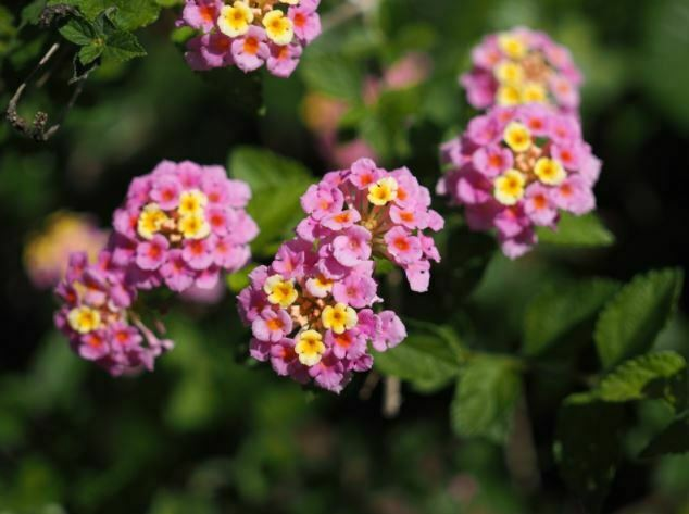 beautiful small flowers lantana