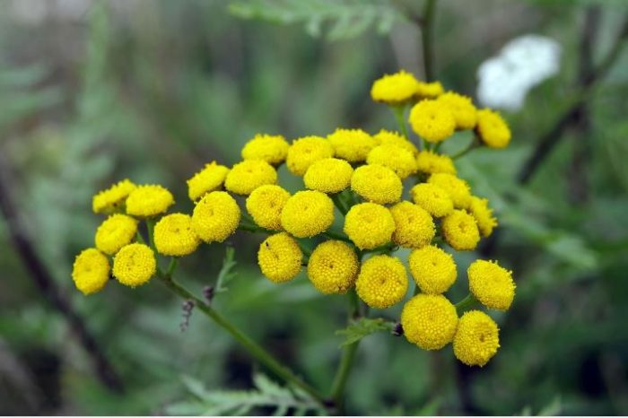 beautiful small yellow flowers TANSY - flower