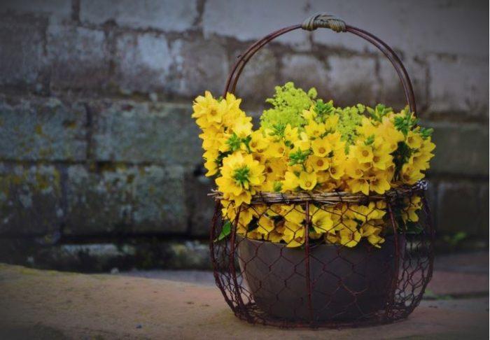 beautiful yellow flowers loosestrife