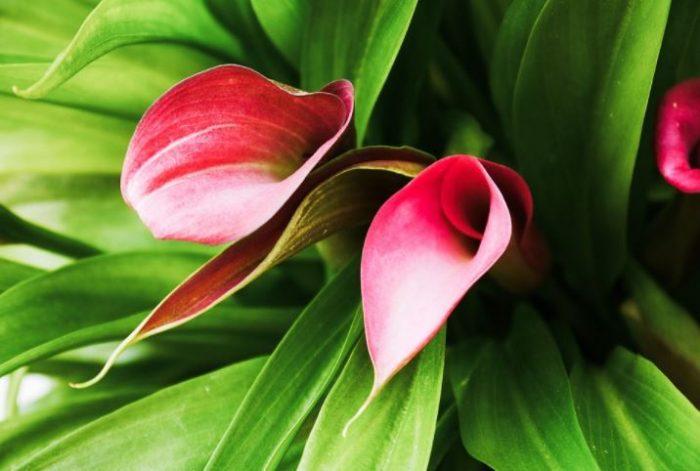 calla beautiful flowers