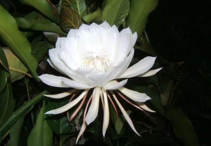 kadupul flower amazing flower