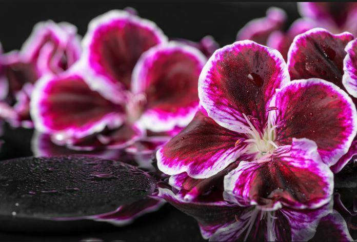 pretty geranium flower pink