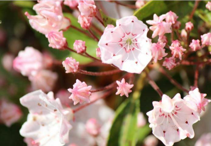 pretty kalmia flowers