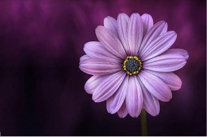 pretty purple flowers - daisy