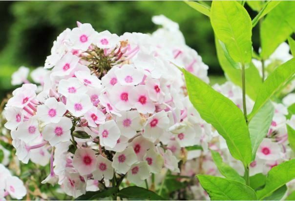 beautiful flowers phlox flower