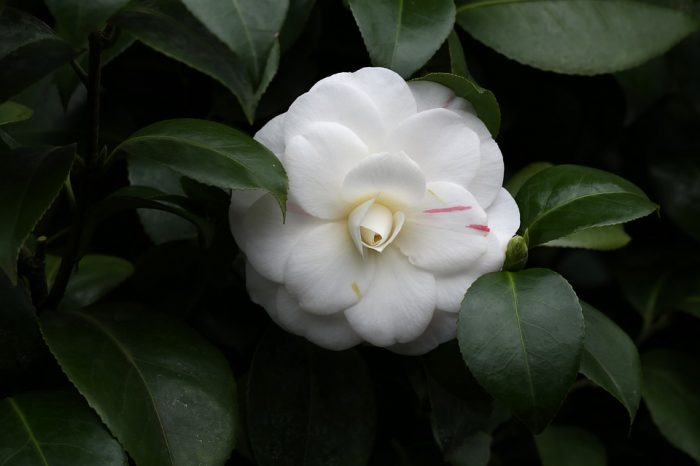 types of flowers camellia flower