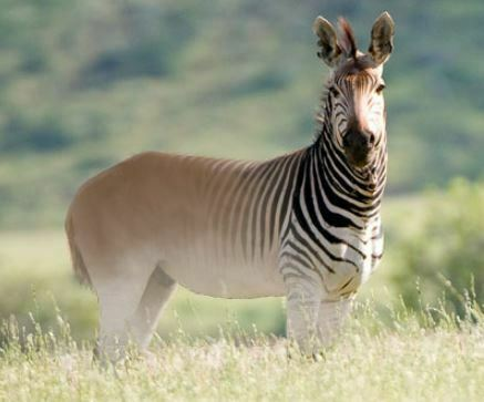 Animals that start with q - quagga