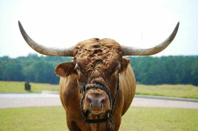 animals that start with b - bull » Jessica Paster