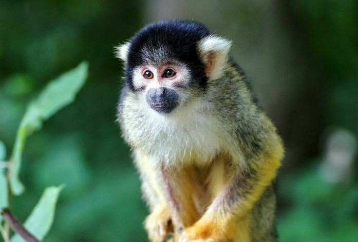animals that start with s - squirel monkey