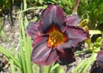 15+ Most Beautiful Black Flowers with Pictures