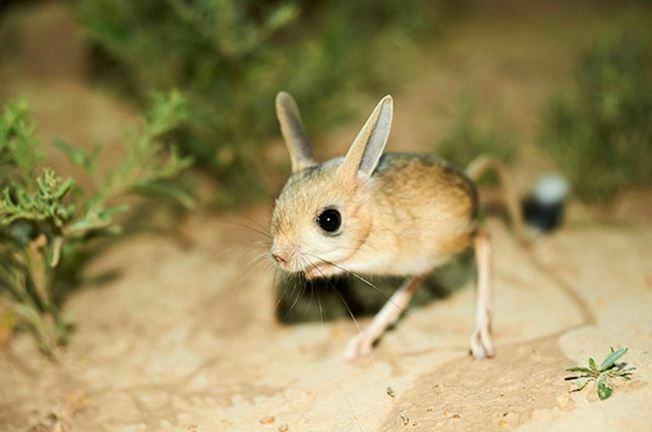animals that start with j jerboa