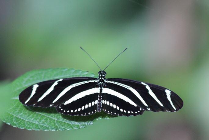 white black animal